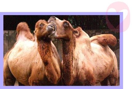 chameaux1